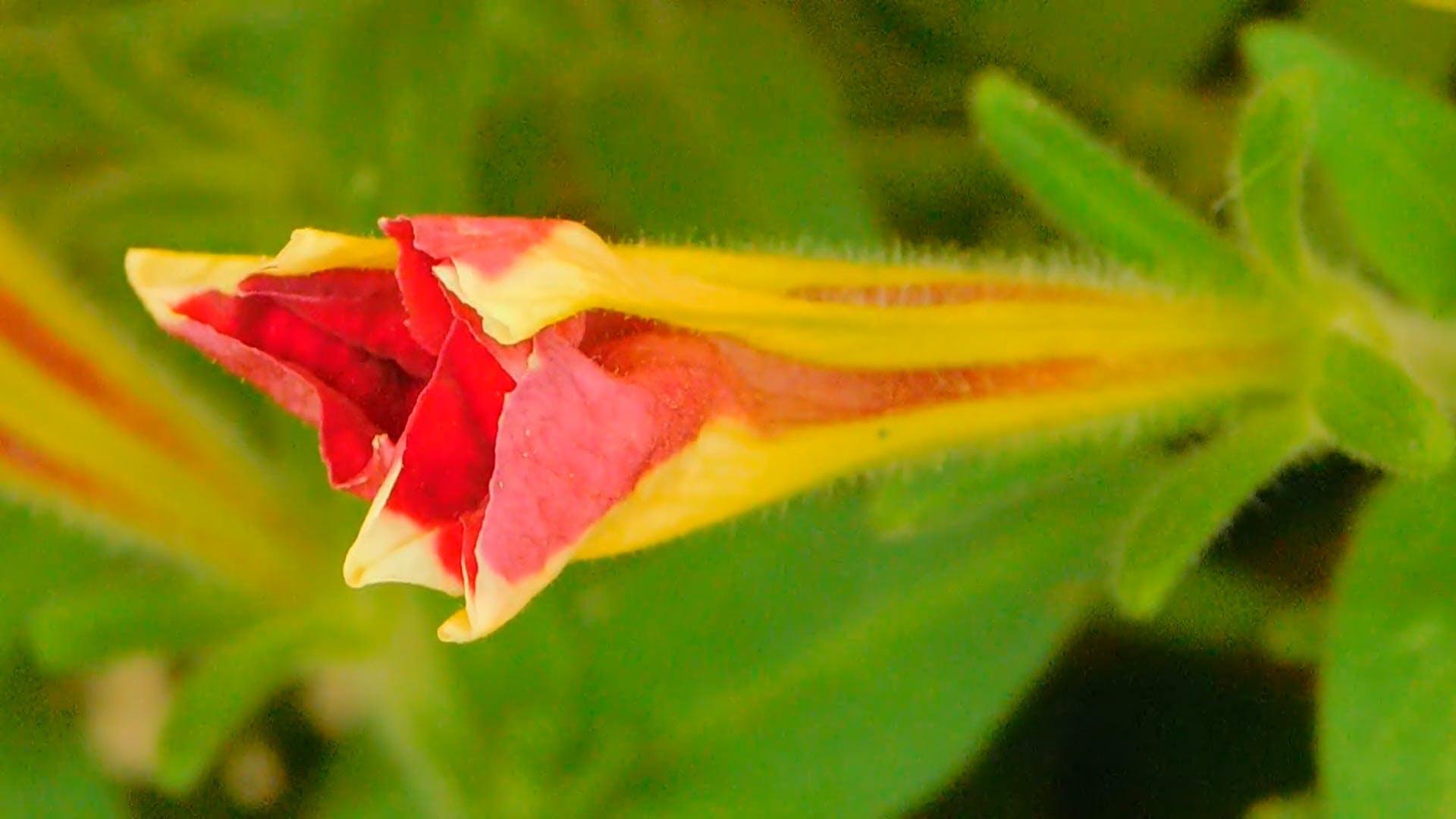 Macro Video-Flower Bud