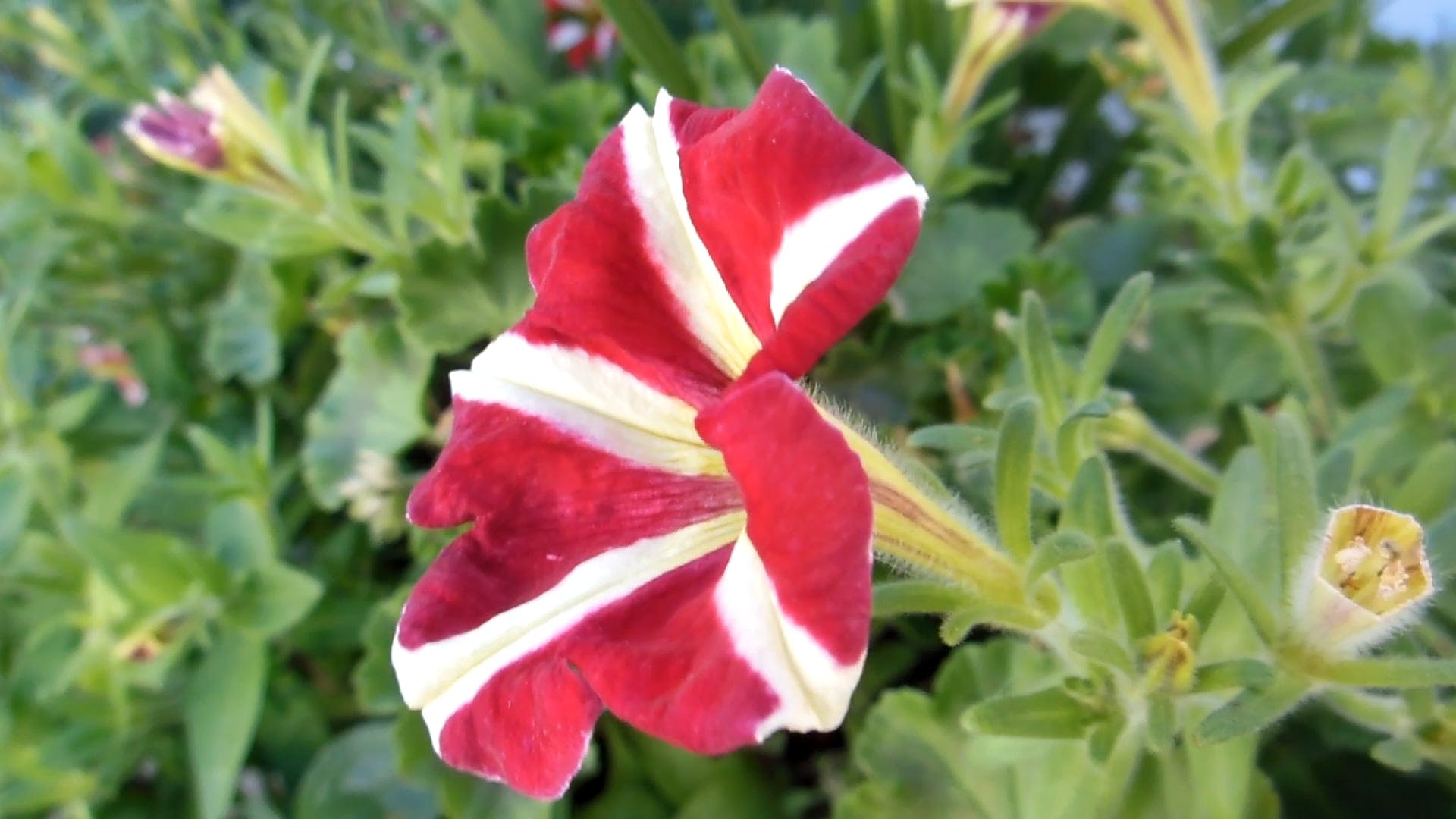 Side View Of A Red Flower