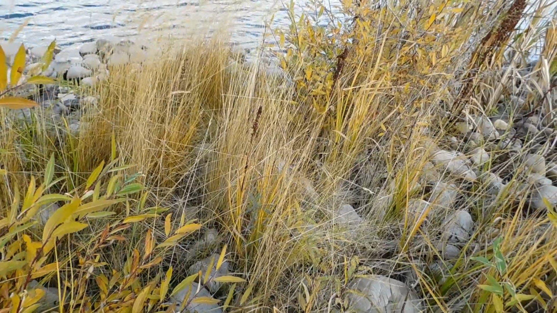 Tall Grass Near The Lake