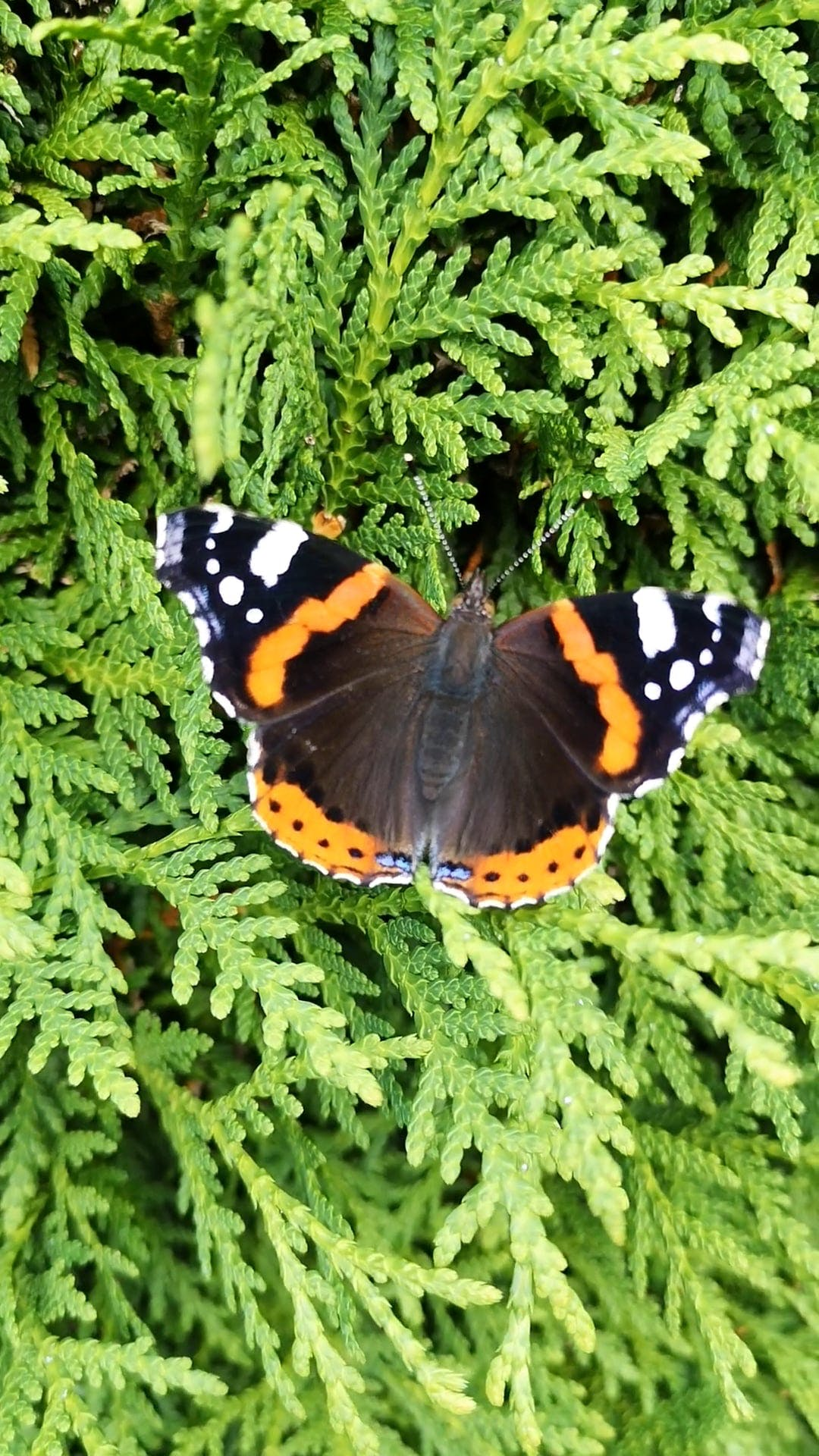 Butterfly On A Pine Tree