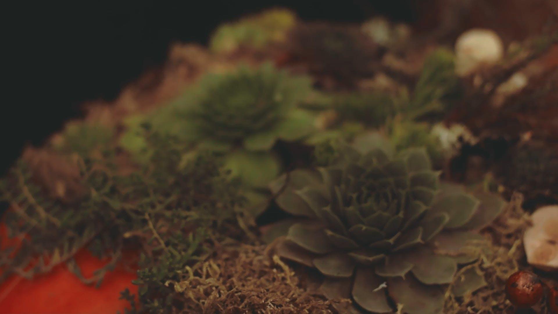 Echeveria - Succulent Plant