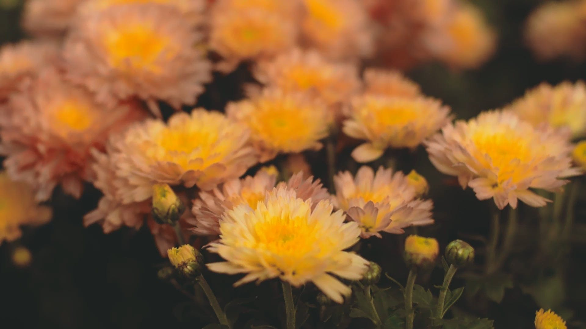 A Combination Of Pink And Yellow Daisies