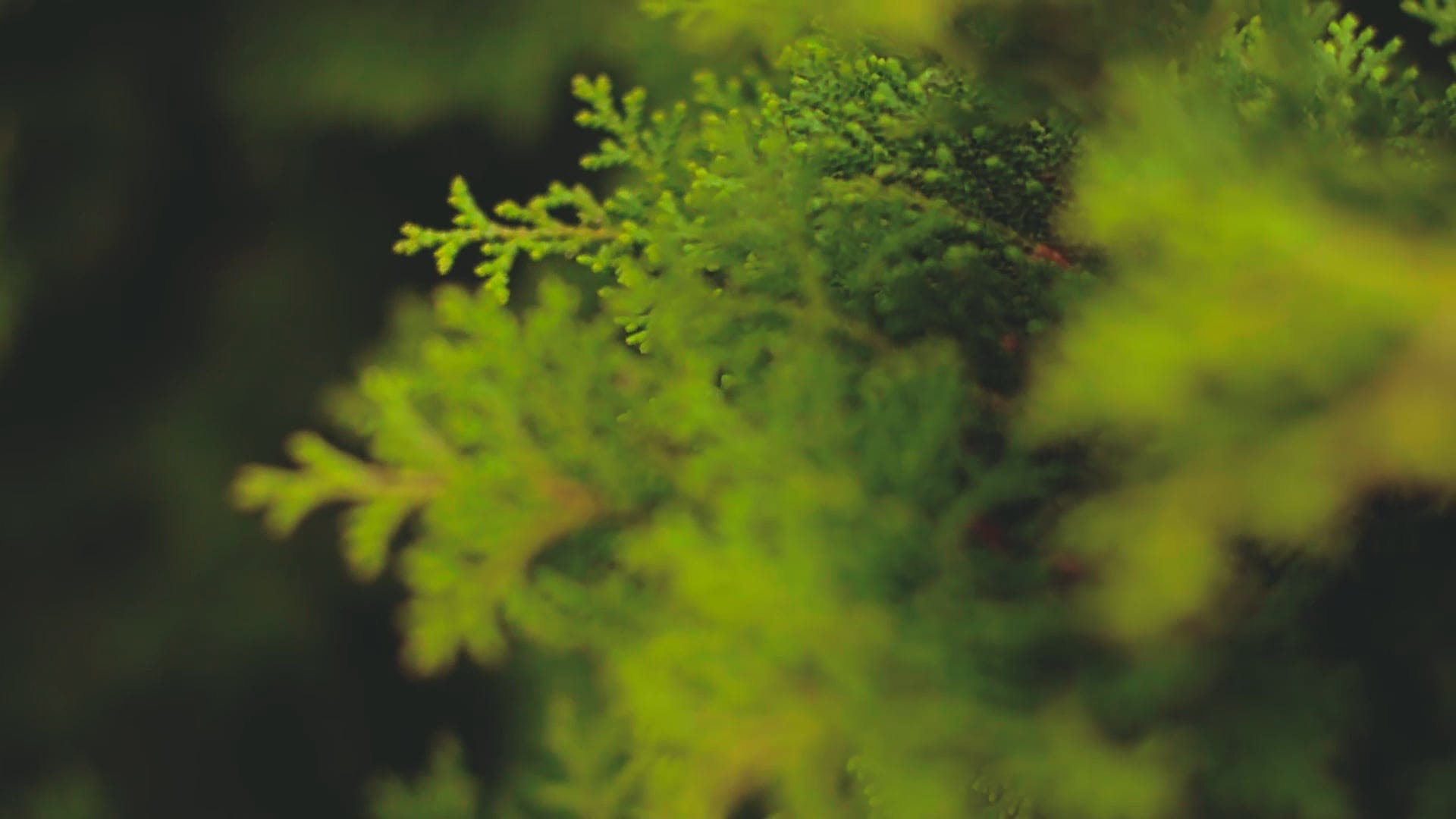 Pine Leaves In Close View
