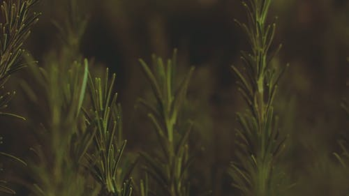 Close-Up Video Of Rosemary