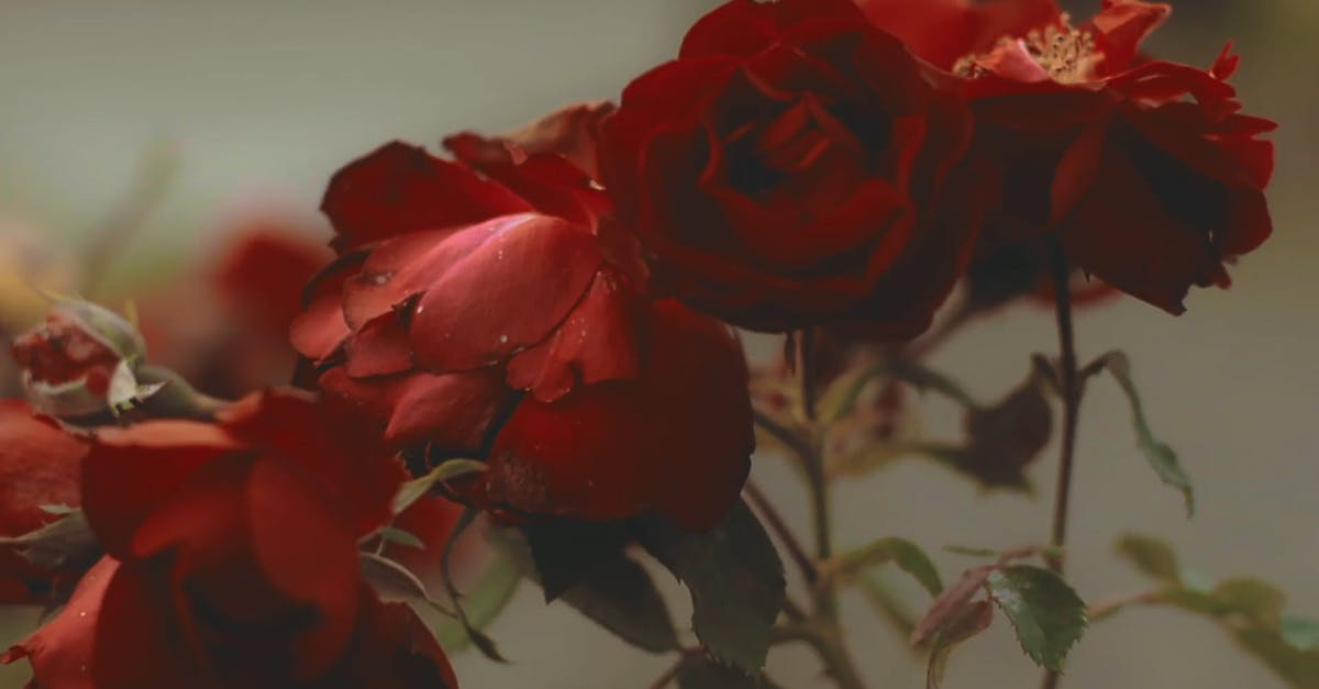 Beautiful Red Roses Free Stock Video