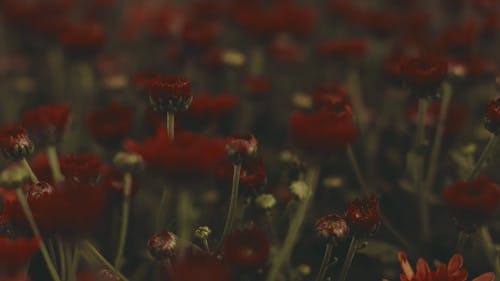 Blurry Vision of Red Flowers