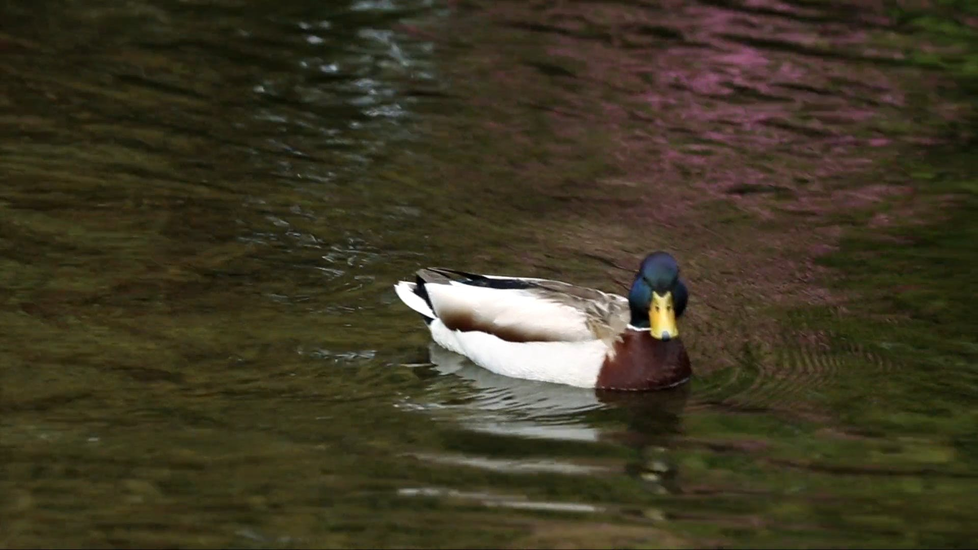 Video of Mallard Duck On Water