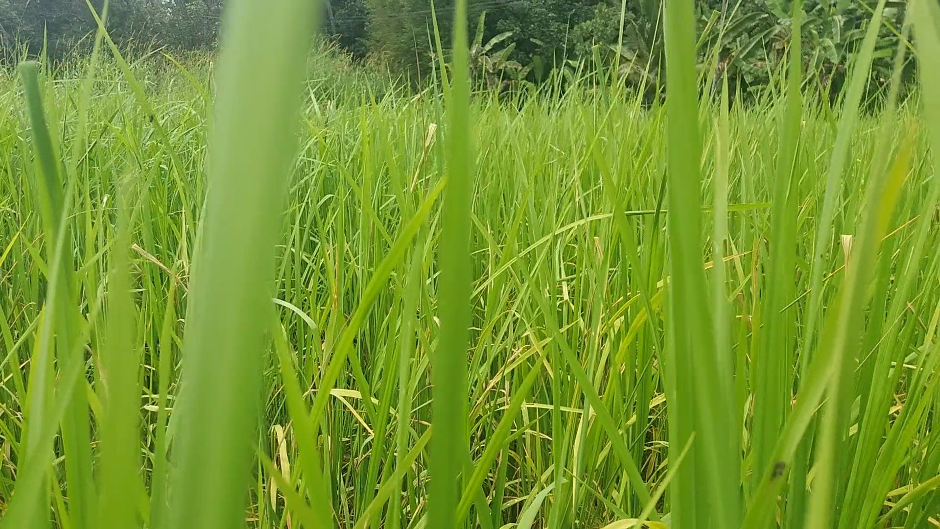 A Green Agricultural Land