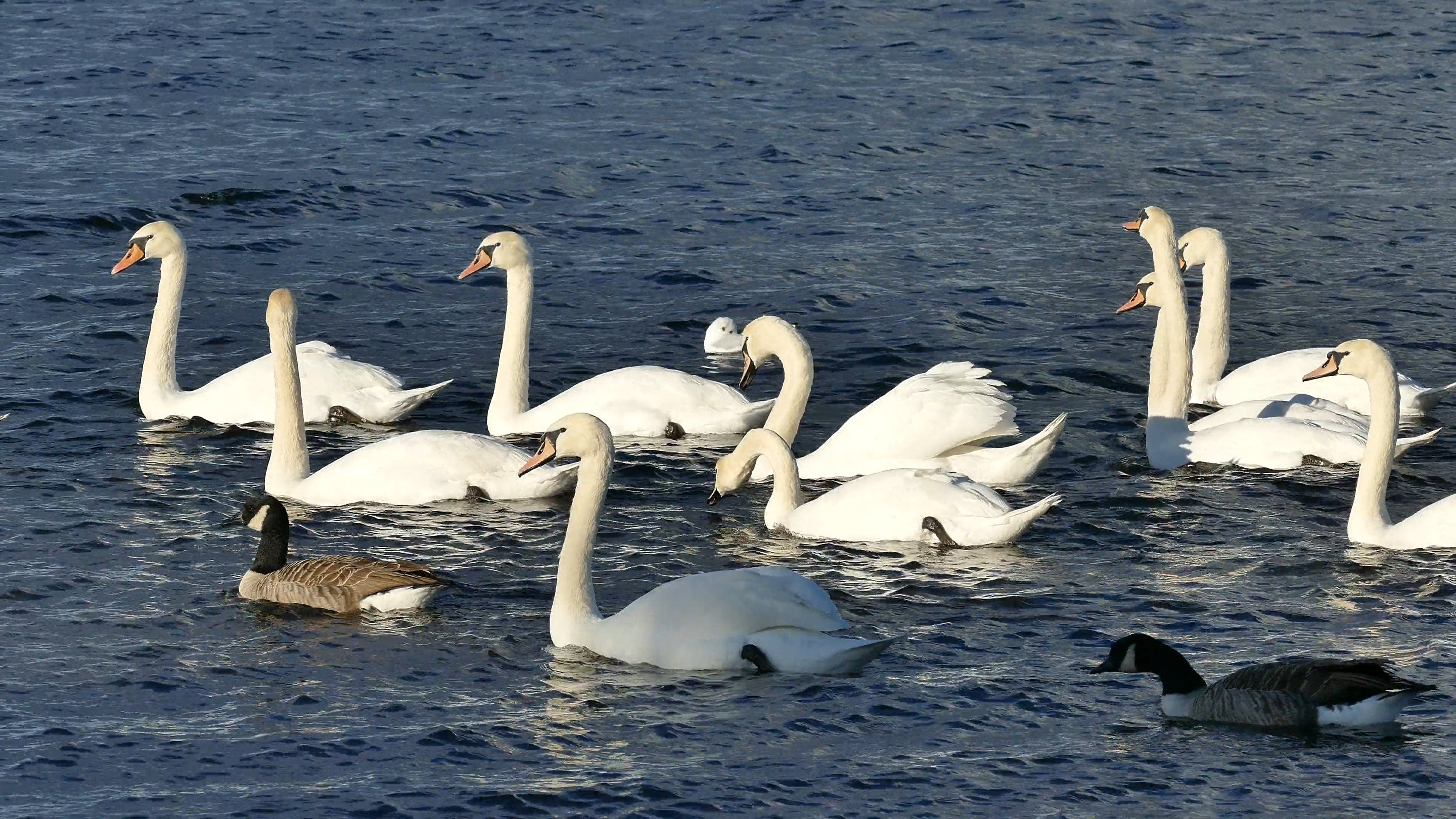 Single Duck Among Swans