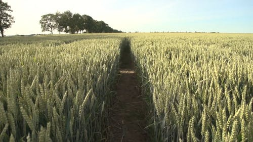 A Vast Land Of Green Wheat