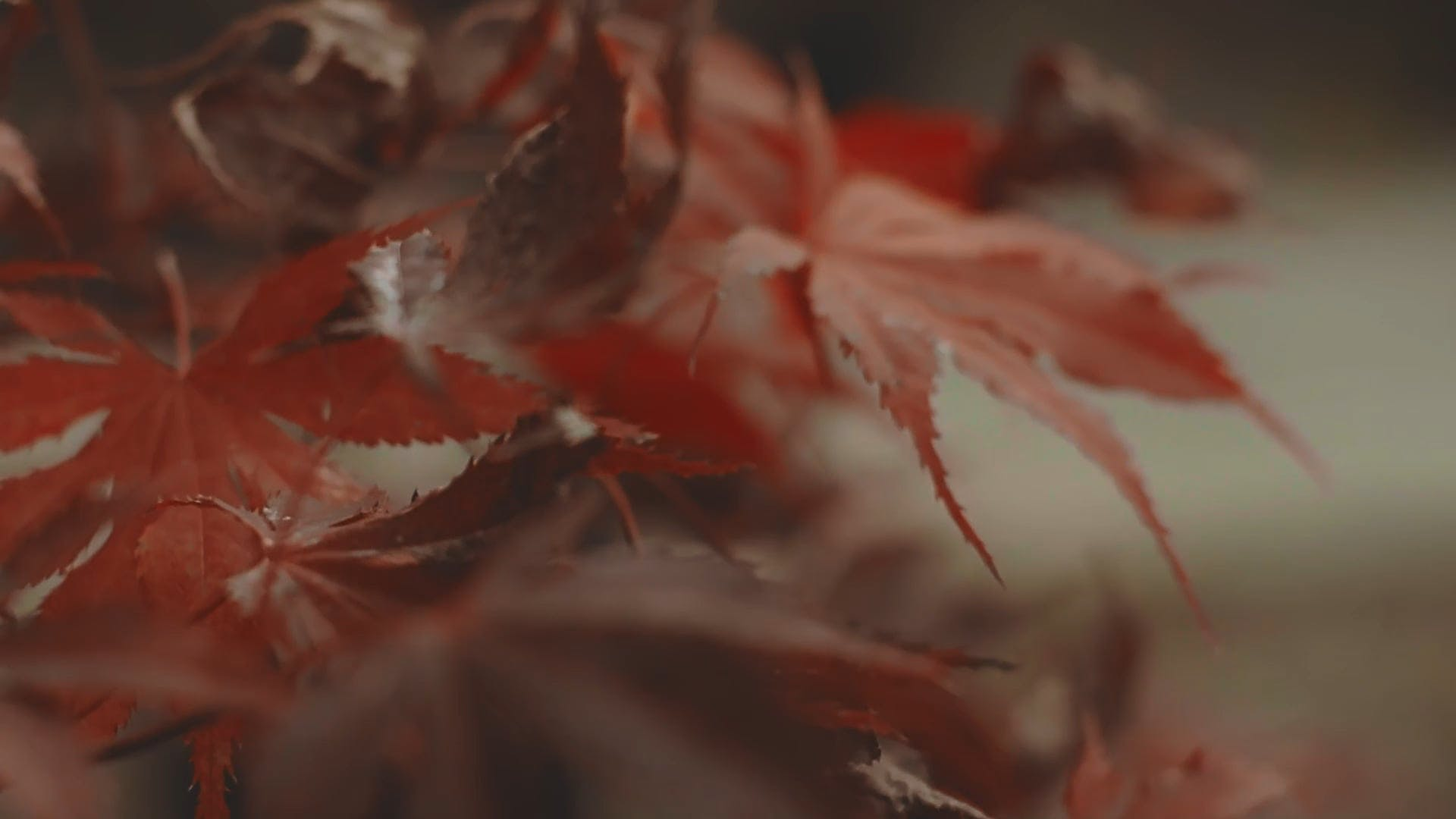 Close-Up Video of Maple Leaves