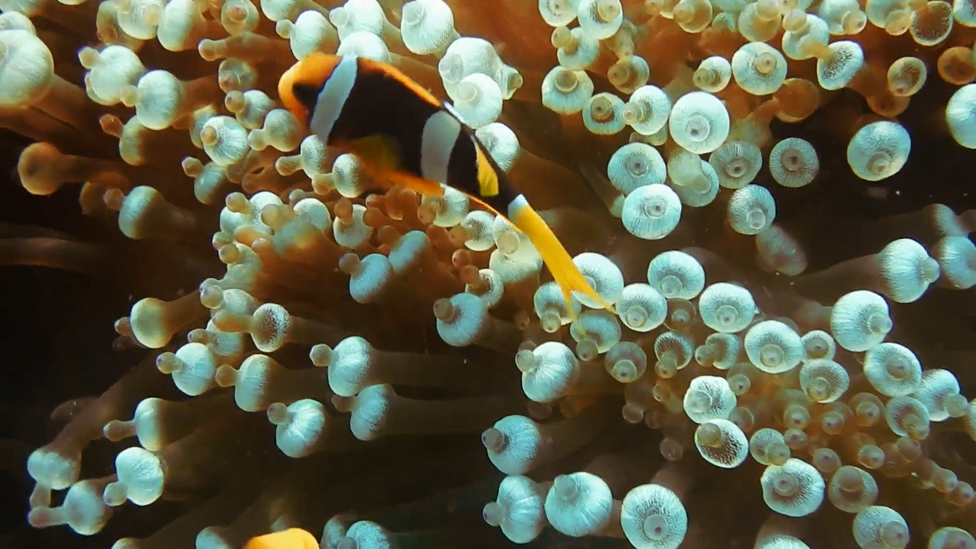 Clown Fish UnderWater