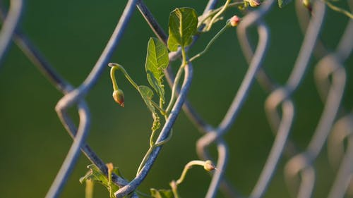 Plant Crawling On A Wire Fence