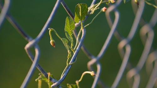 Pflanze, Die Auf Einem Drahtzaun Kriecht