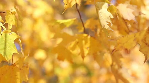 Golden Yellow Leaves Of Autumn