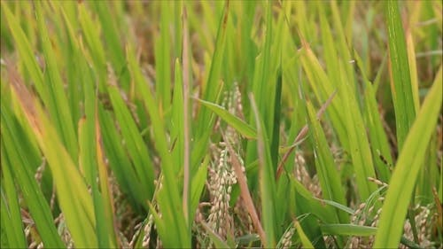 Rice Ready To Be Harvested