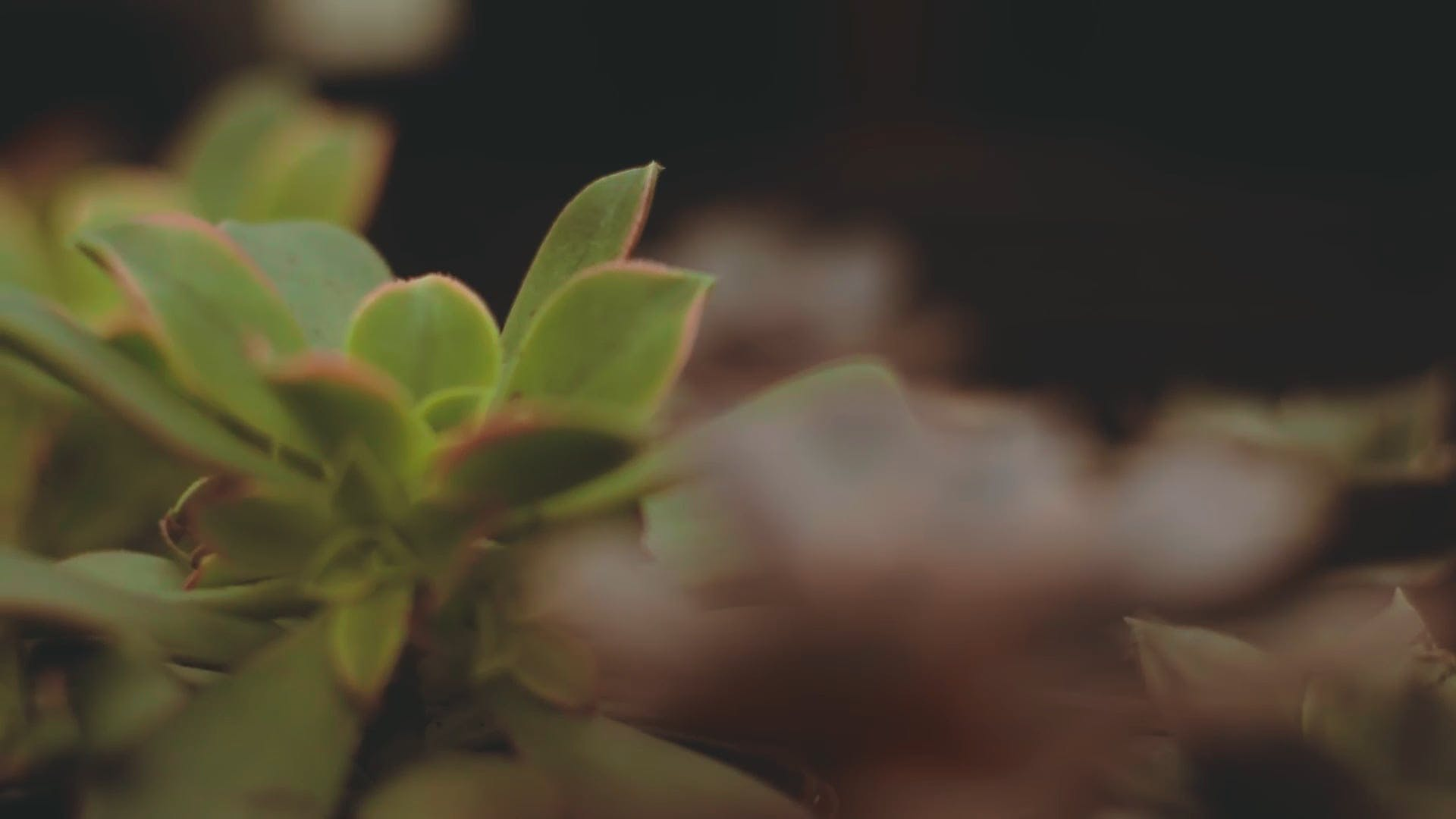 Close-Up Video of Succulent Plants