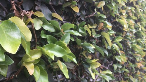 A Wall Full Of Climbing Plant