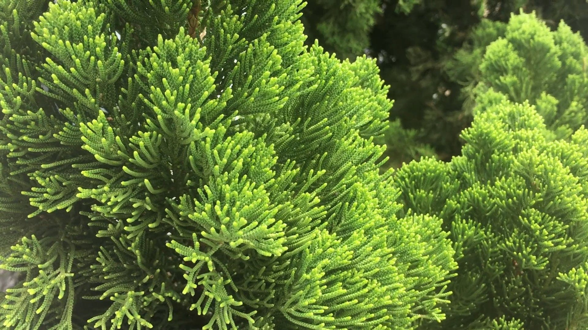 Evergreens In The Garden