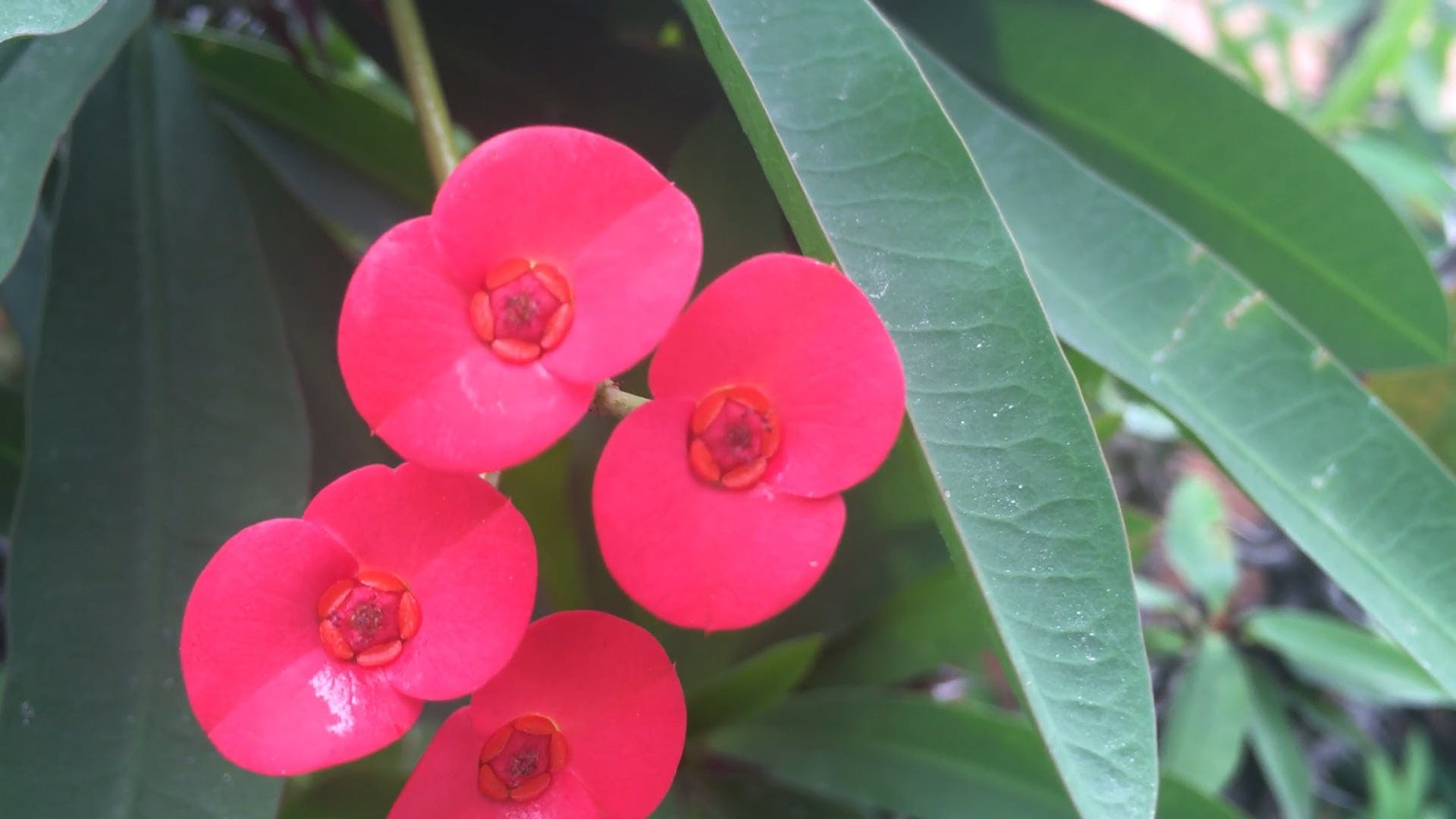 Small Pink Flowers In Bloom
