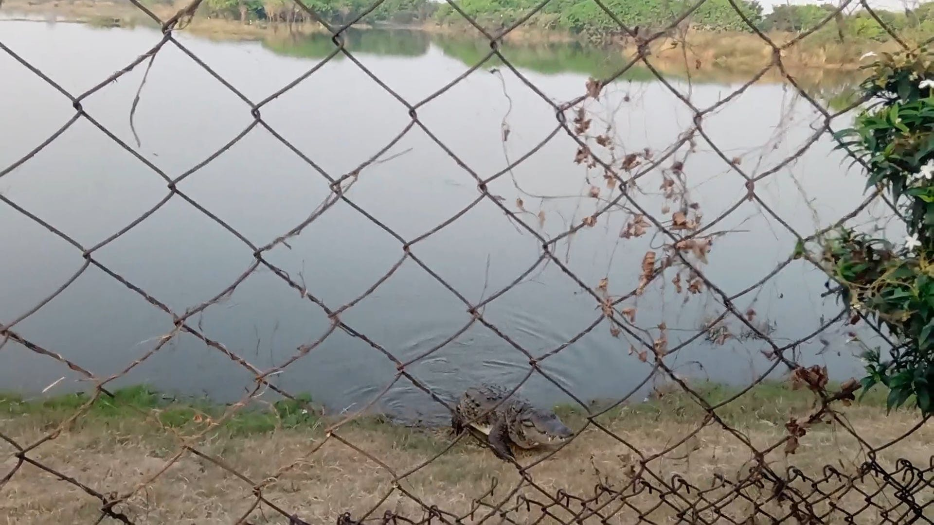 Video Of Crocodile