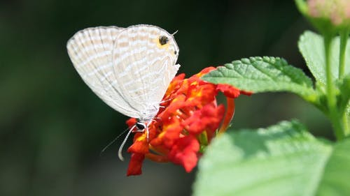 Beautiful White Butterfly On A Flower