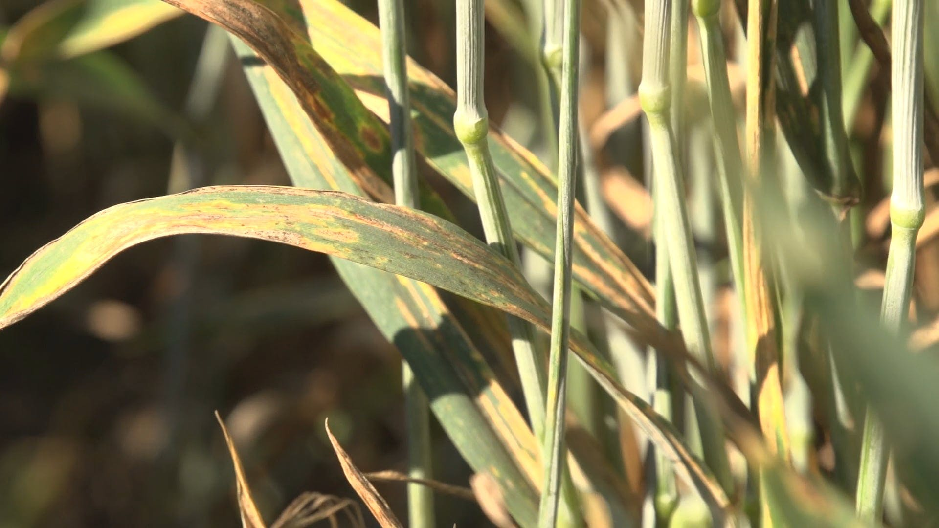 Close View Of A Wheat Plant