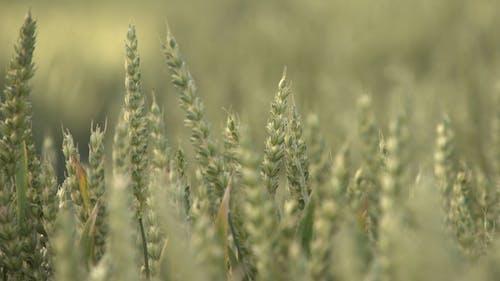 Unscharfe Ansicht Von Weizen Im Feld