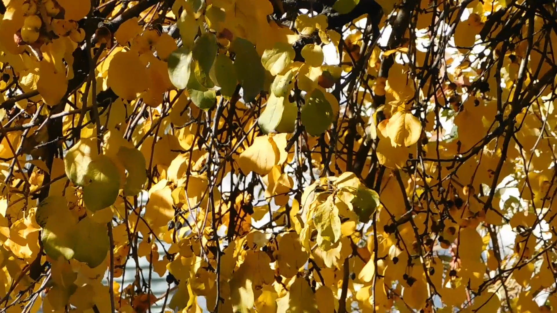 Golden Yellow Leafed Tree