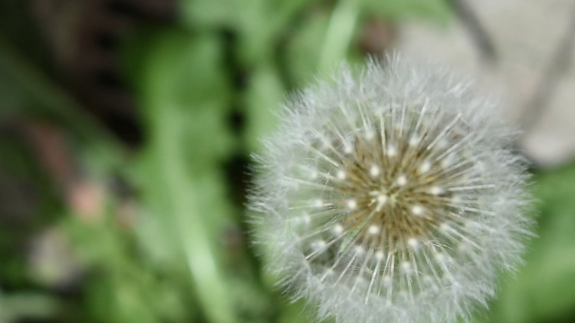 Close View Of A Dandelion