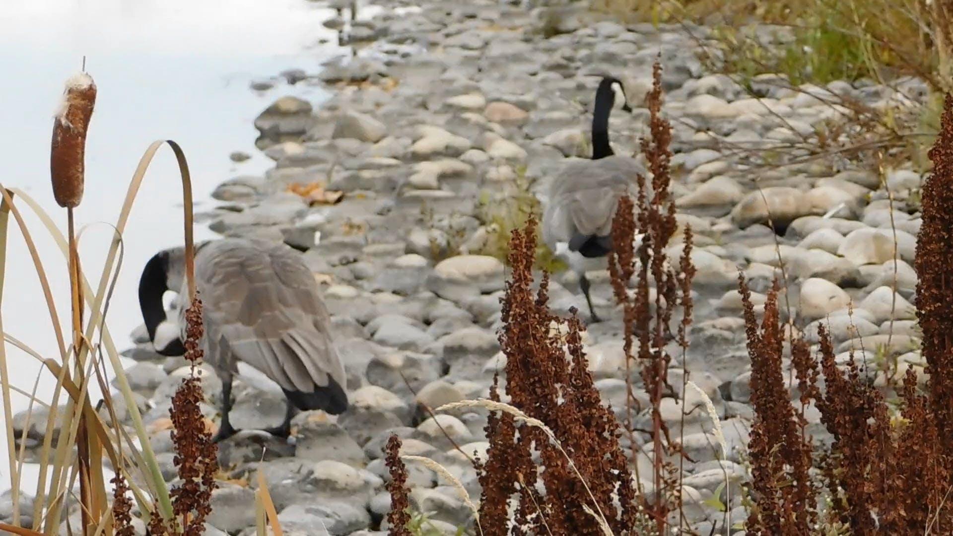 Geese Along The Lake