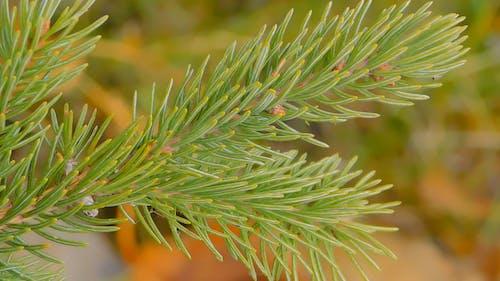Close-up Shot Of A Pine Tree