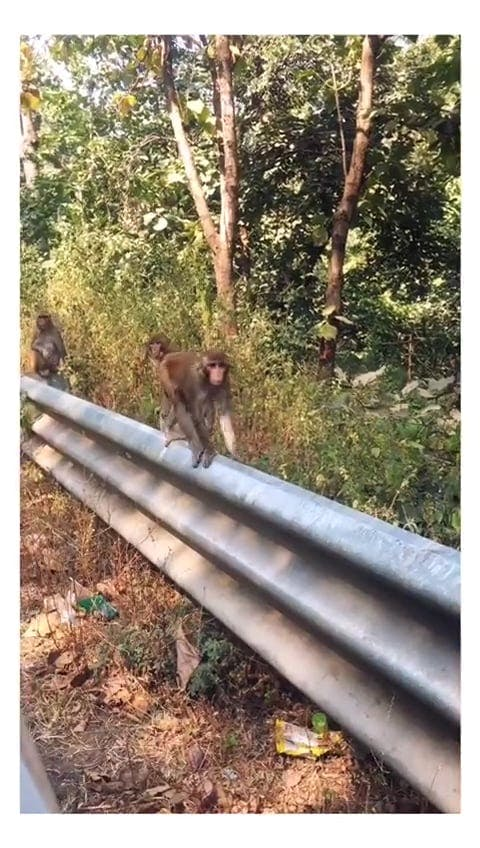 Monkeys On Railings Along The Road