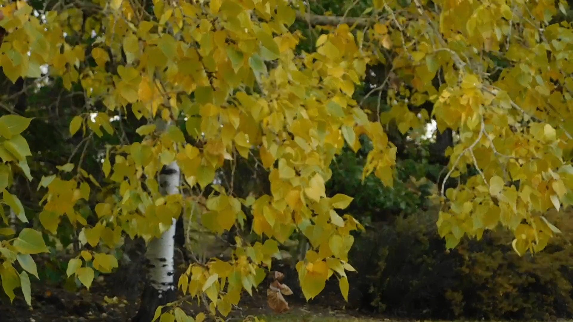 Birch Tree With Yellow Leaves