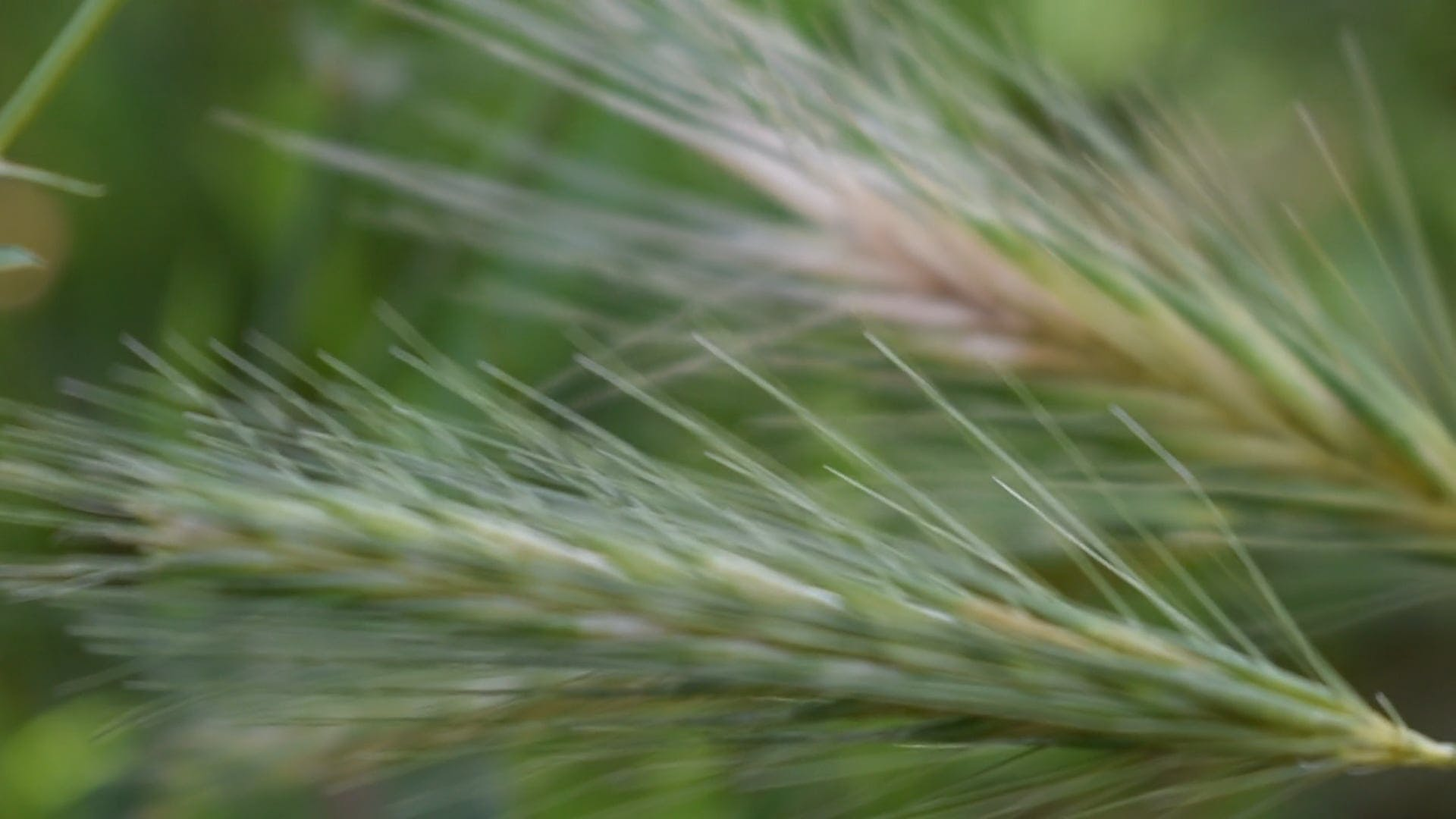 Close View Of A Barley Plant