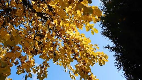 Golden Yellow Fruit Bearing Tree