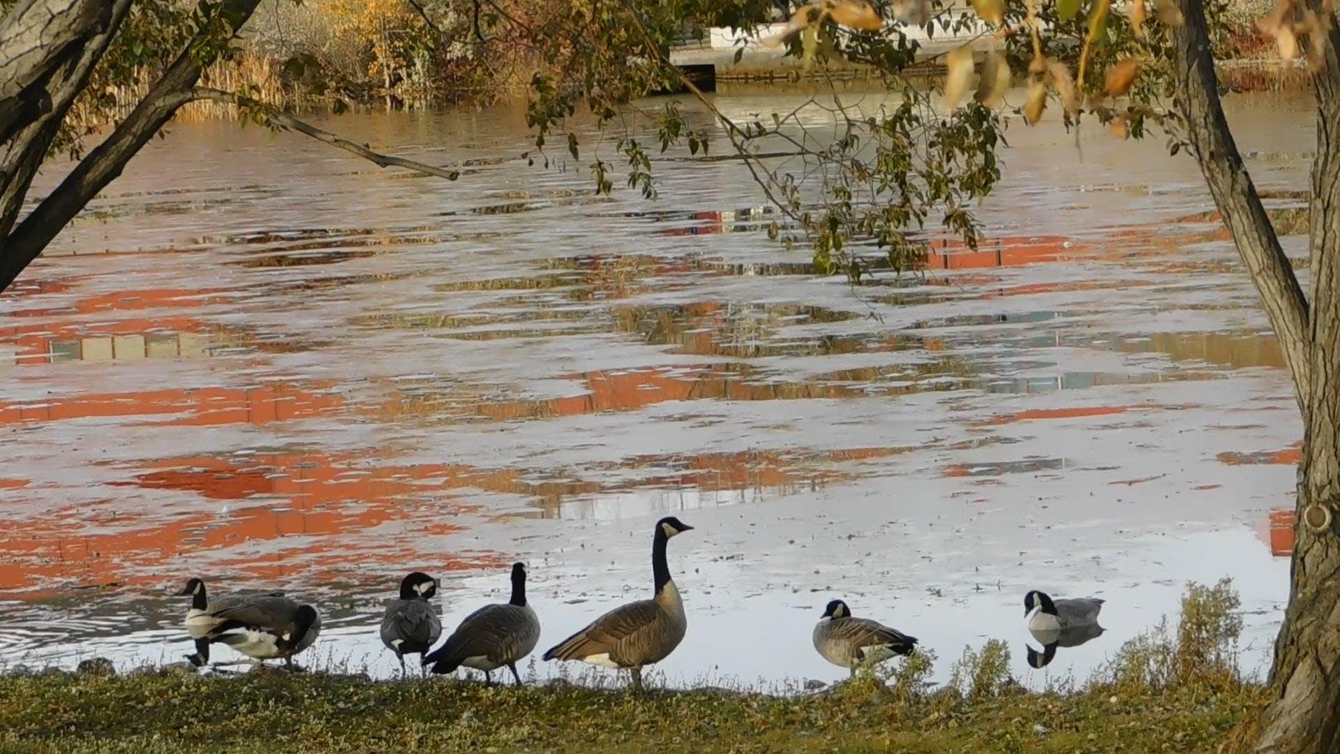 Ducks At A Frozen Lake