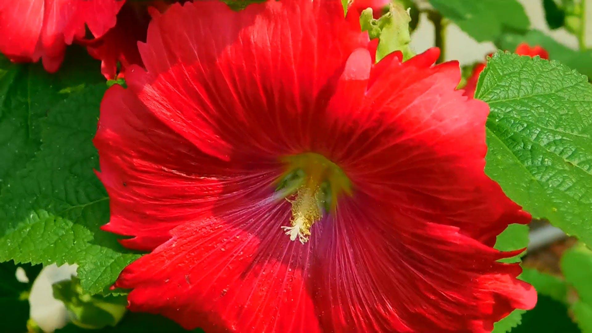 Red Gumamela Flower