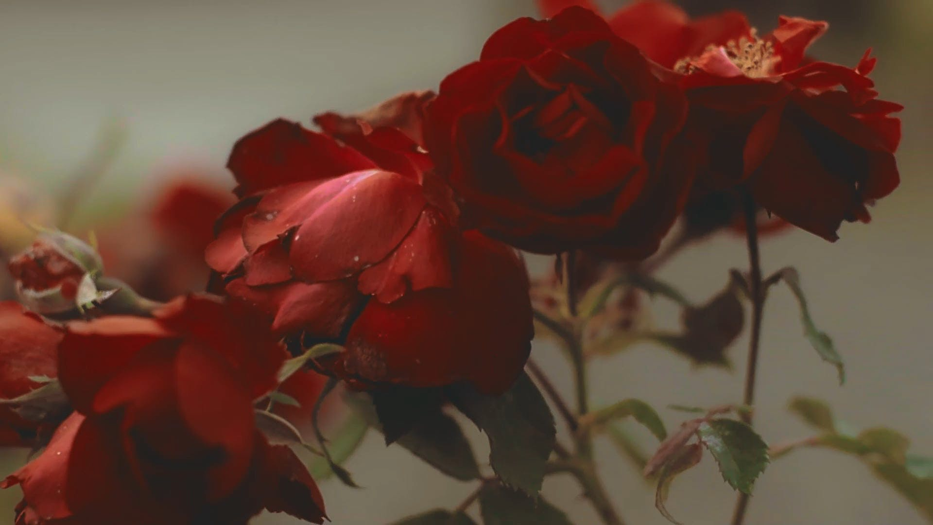 Red Roses In Close-Up View