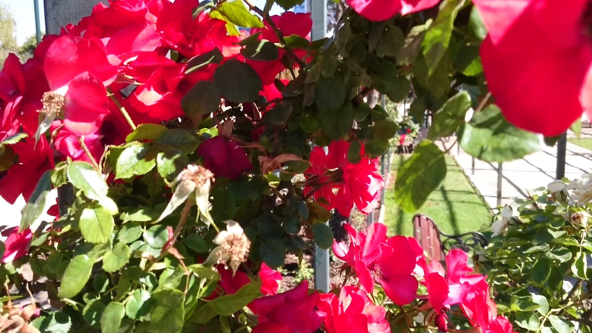 Beautiful Red Flowers In The Garden