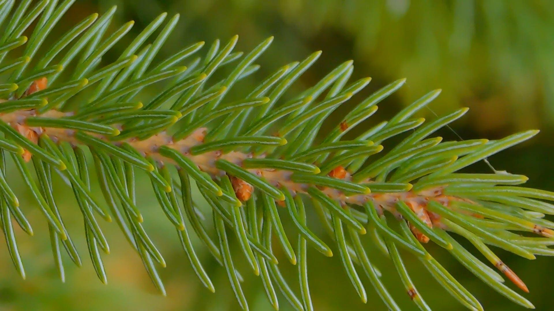 Close-up Shot Of Pine Tree