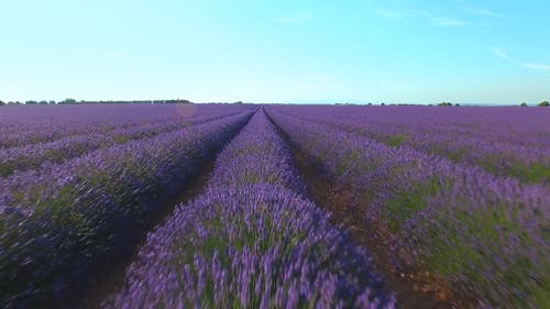 Plantation Of Lavender Flowers