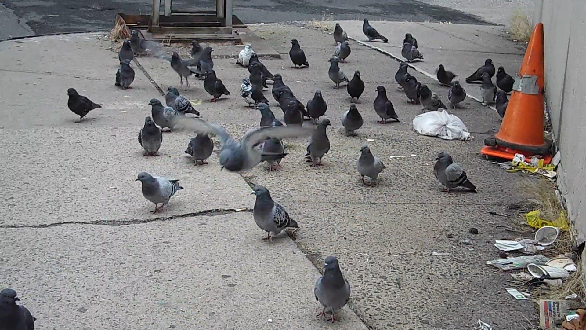Flock Of Pigeons On Sidewalk