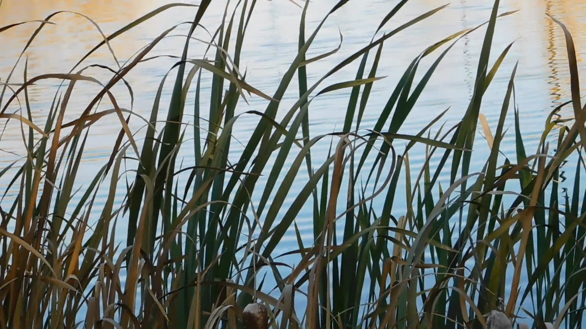 Tall Grass At The Lake