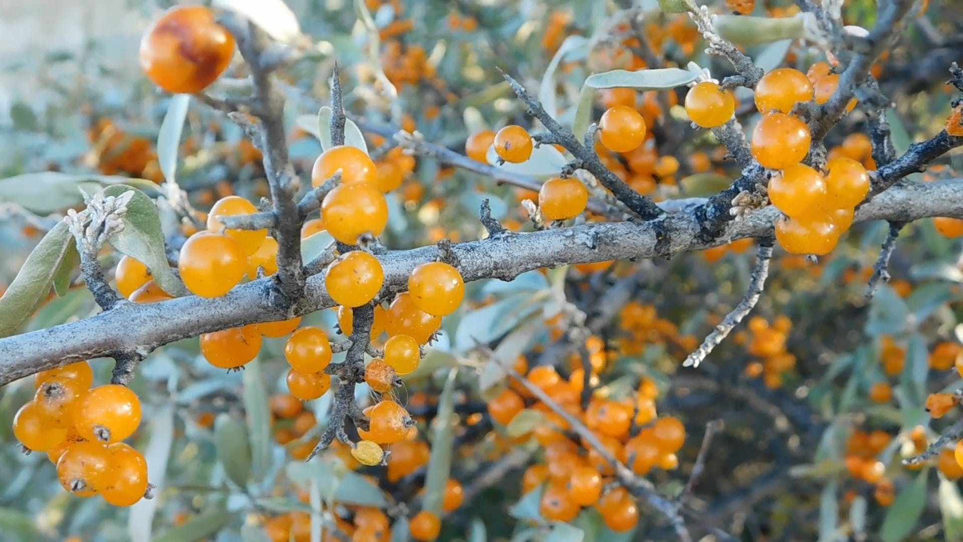 Close-Up View-Sea Buckthorn Berries