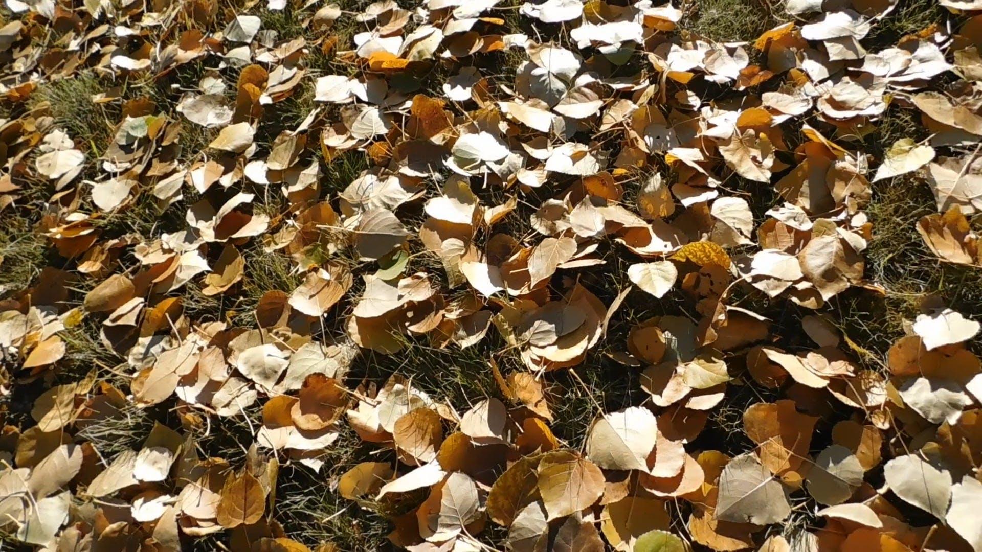 Dry Fallen Leaves