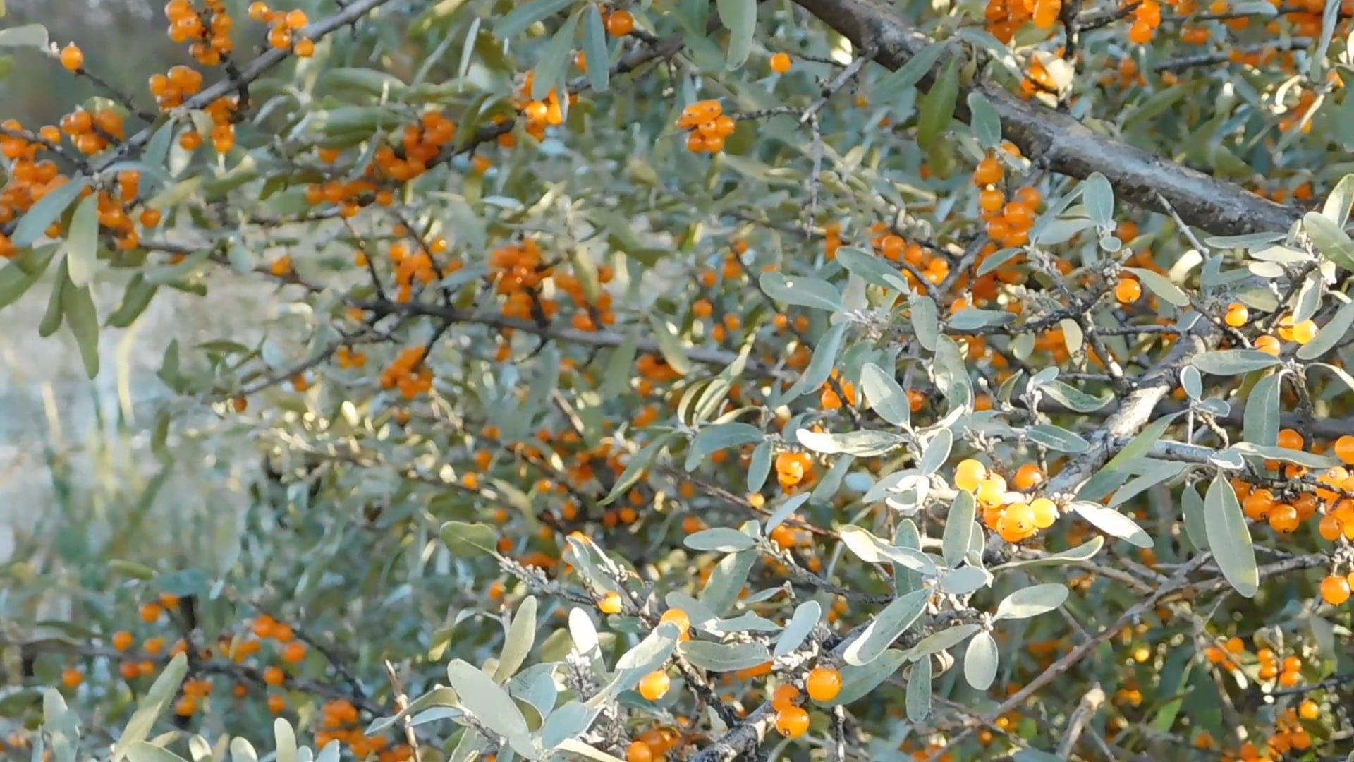 Orange Sea Buckthorn Berries