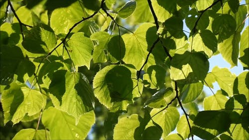 Grüne Blätter Eines Baumes An Einem Windigen Tag