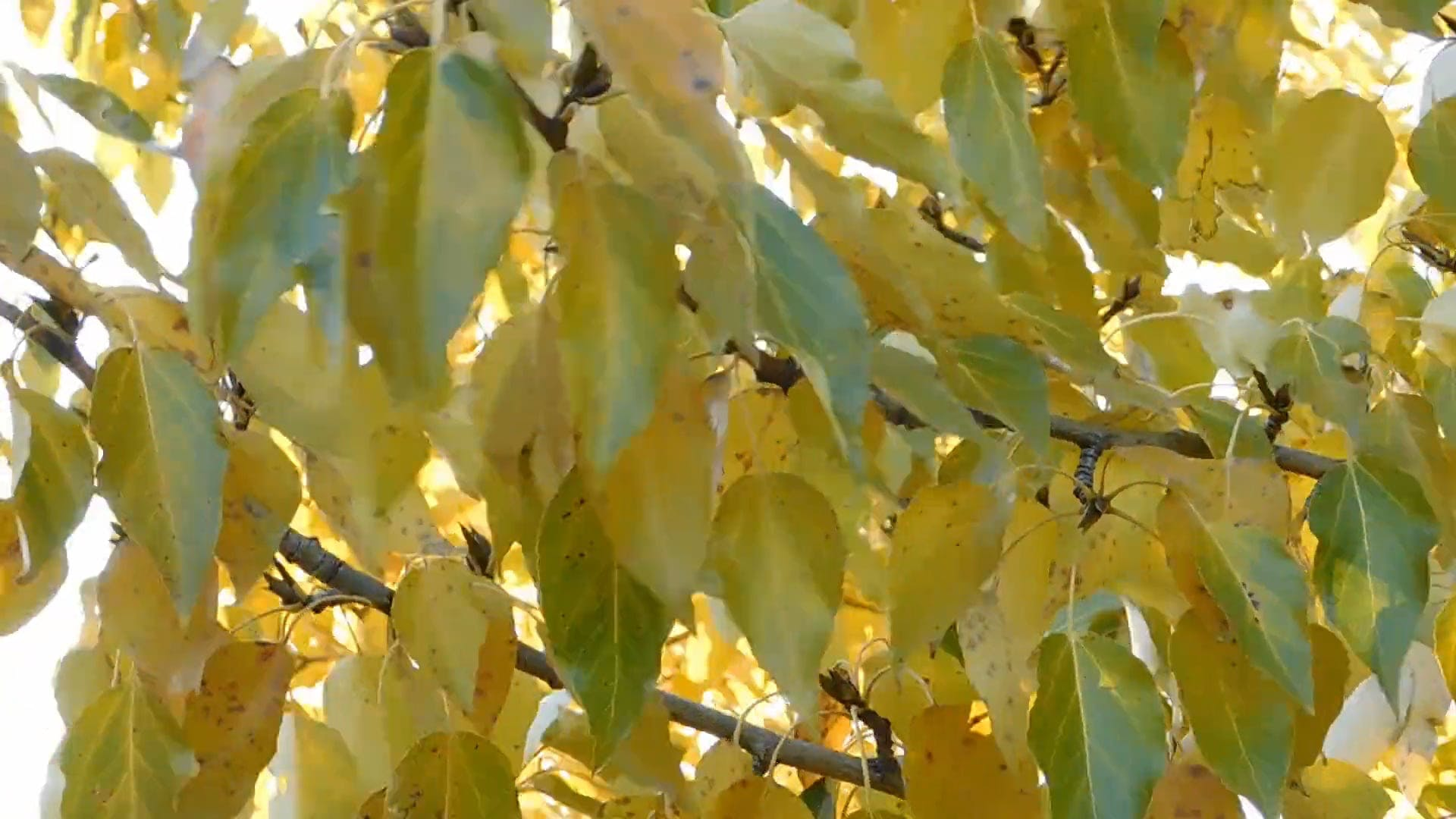 Golden Yellow Leaves On A Windy Day