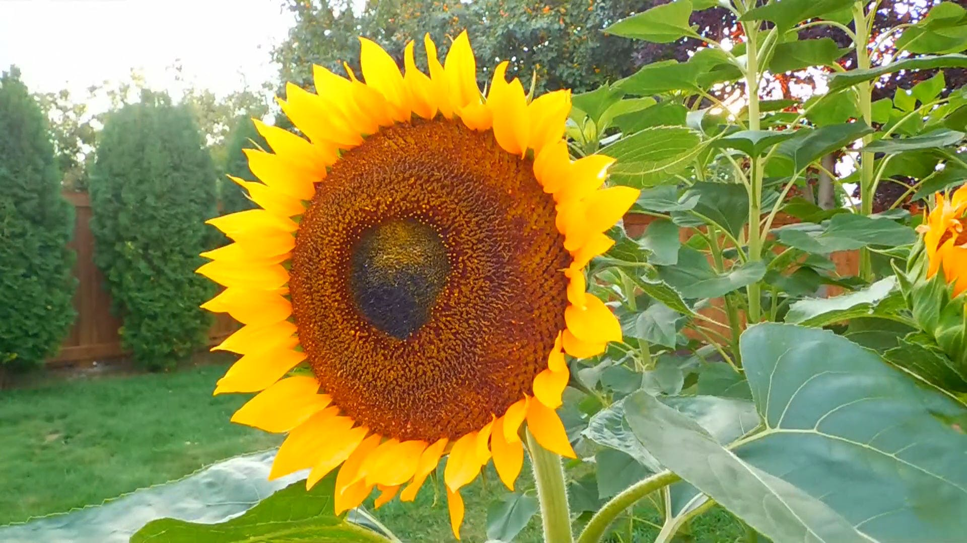 A Garden With Sunflowers